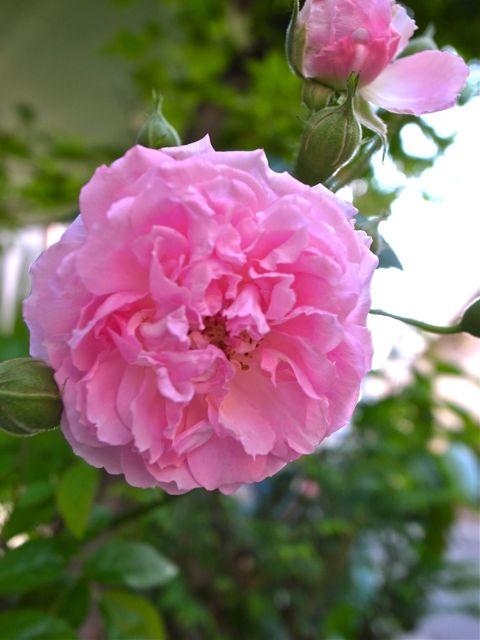 ミニ薔薇4