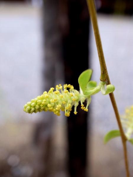 枝垂れ柳の花