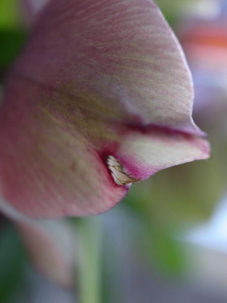 Lenten rose16