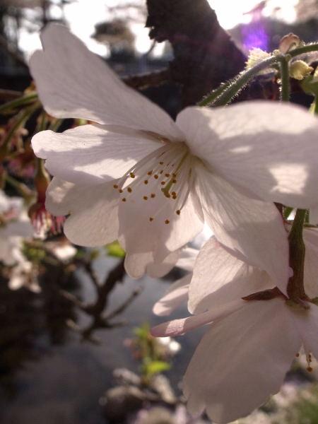 桜2010②