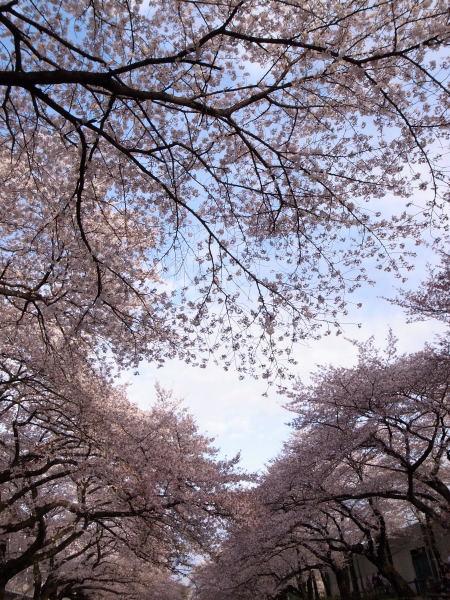 桜2010③
