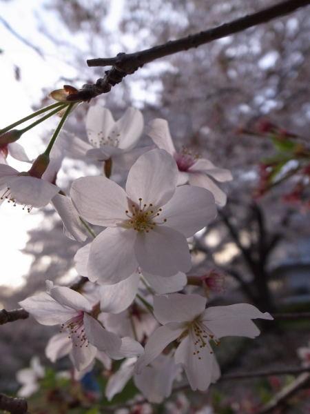 桜2010⑦