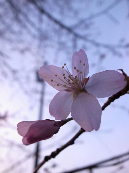 桜2010⑤
