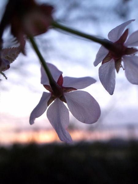 桜2010⑨