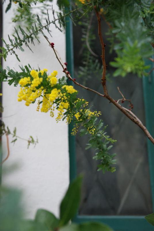 Mimosa039_2